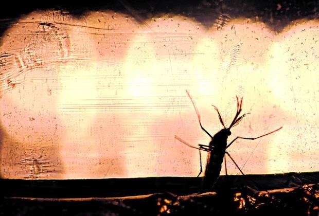 Perigoso. Vetor de transmissão tanto da dengue como da zika, Aedes aegypt é fotografado com larvas